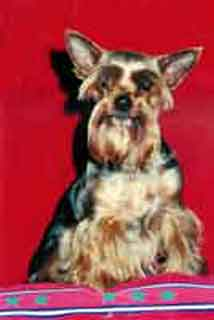 Xara - yorkshire terrier